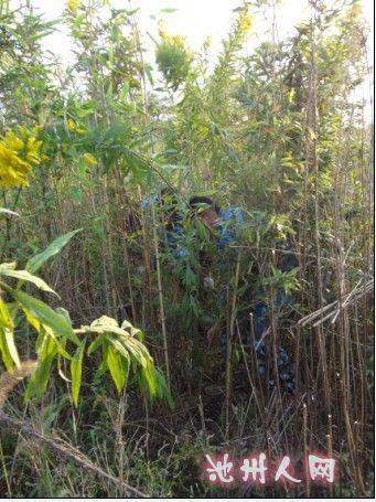 """25日上午管委会组织专人对平天湖风景区内有无""""霸王草""""进行查看,在"""