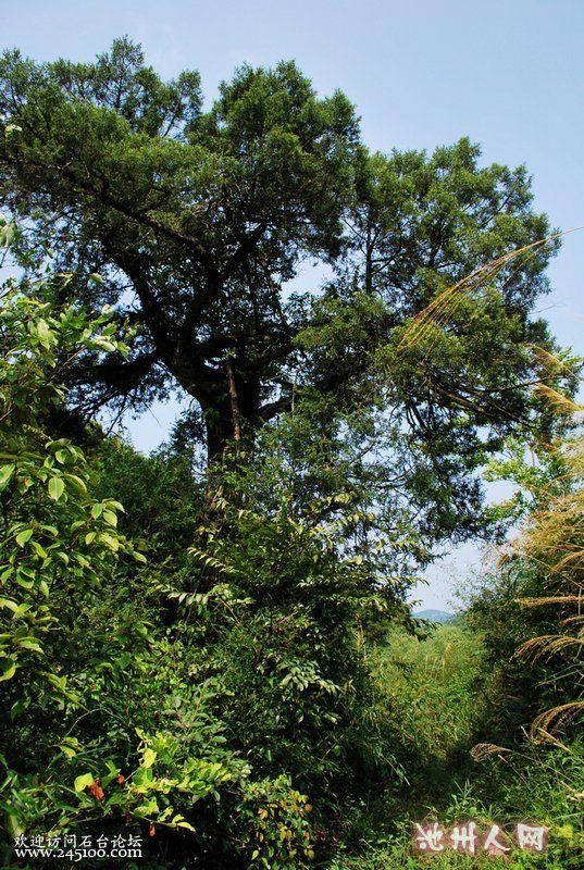 这丛树由柏树,银杏,皂角,青檀,朴树,石楠等树种组成,大大小小有几