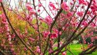 4903,冬天惊艳山茶花(原创) - 春风化雨 - 春风化雨的博客