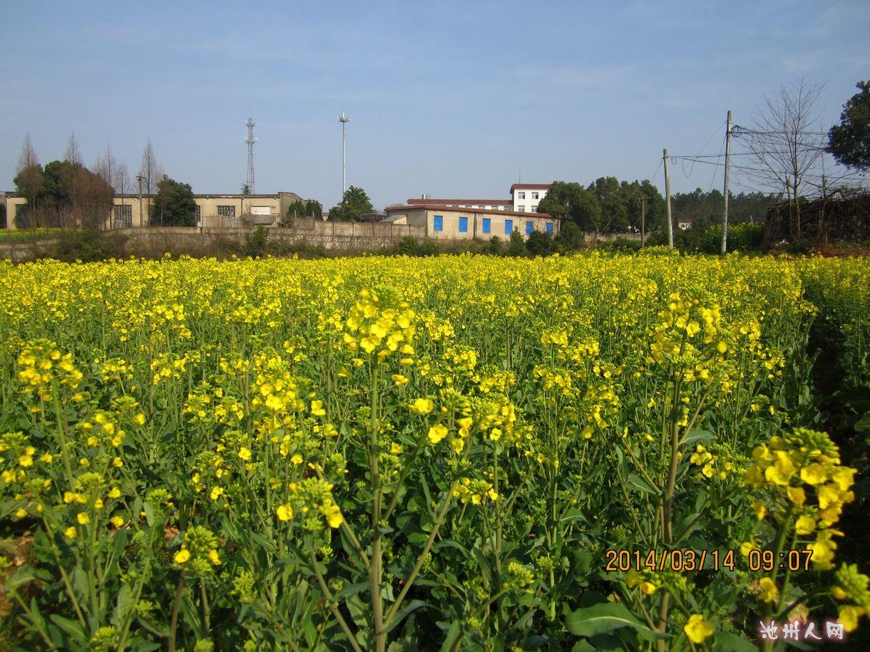 贵池也有大片油菜花风景 - 池州民生 - 池州人论坛