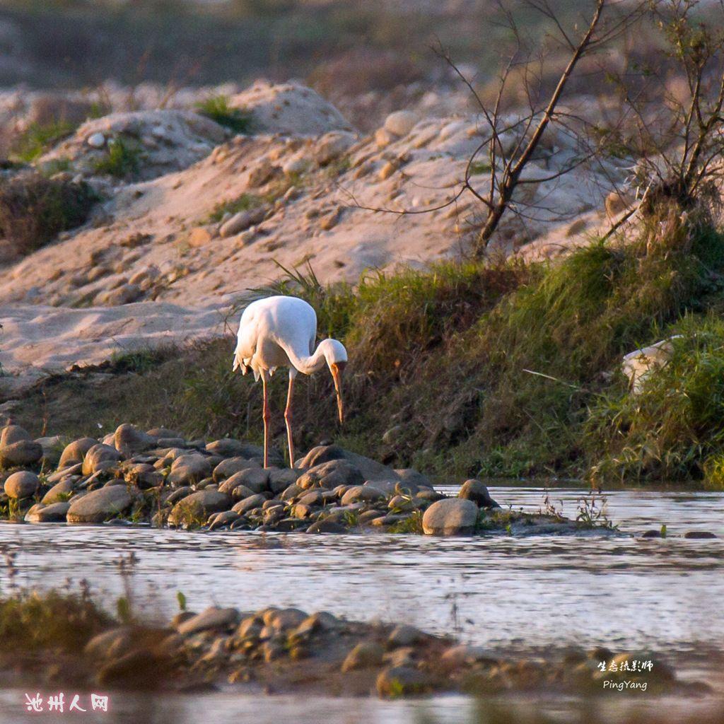 白鹤(国家一级重点保护动物)