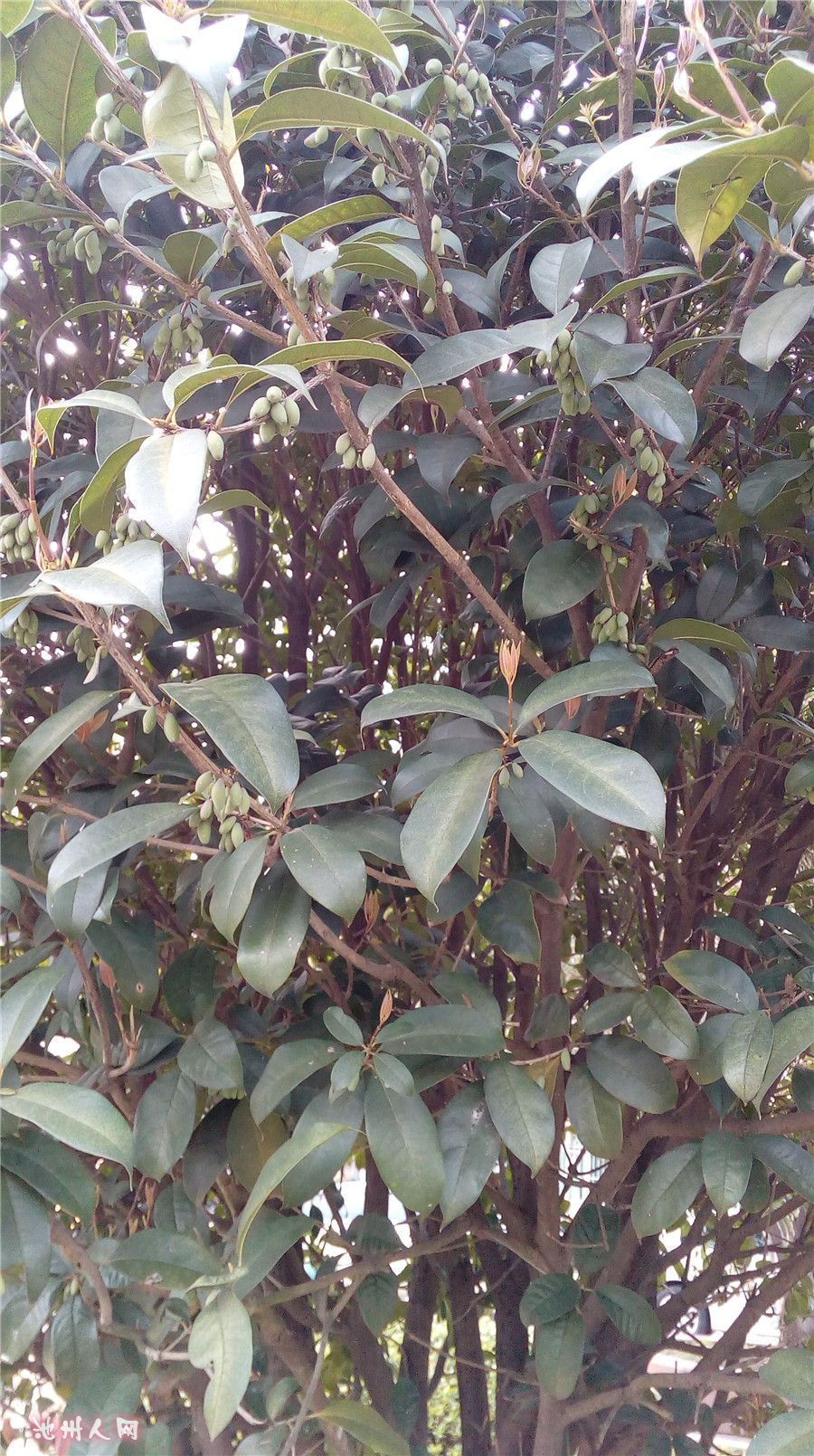 桂花树结果子吗?