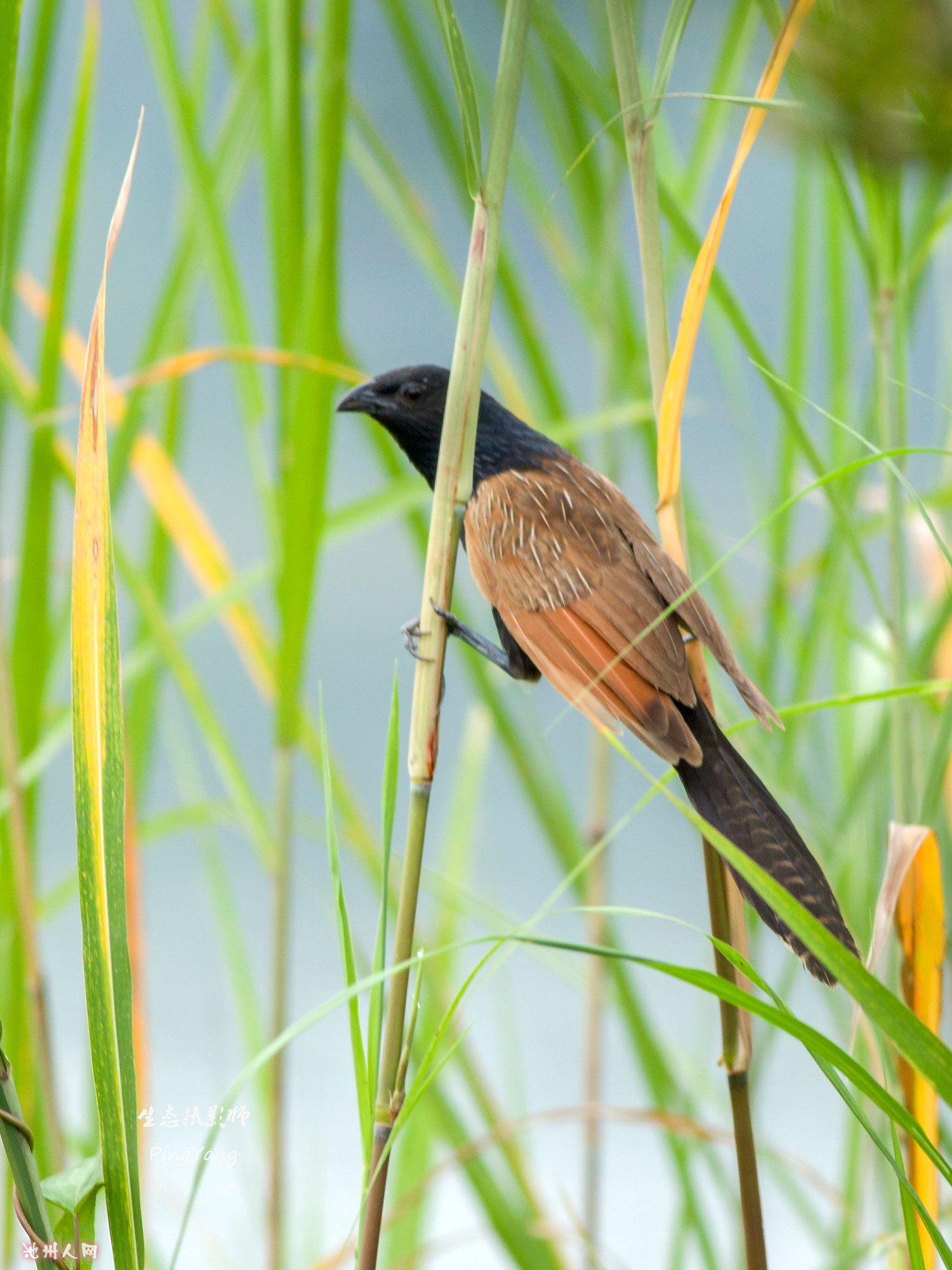 小鸦鹃(国家二级重点保护动物)
