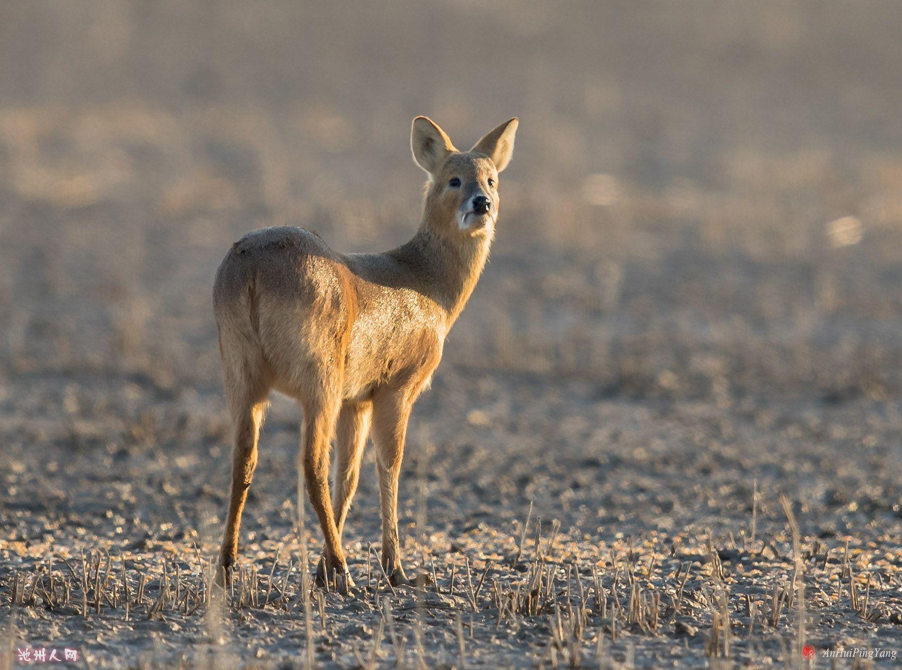 牙獐(国家三级重点保护野生动物)