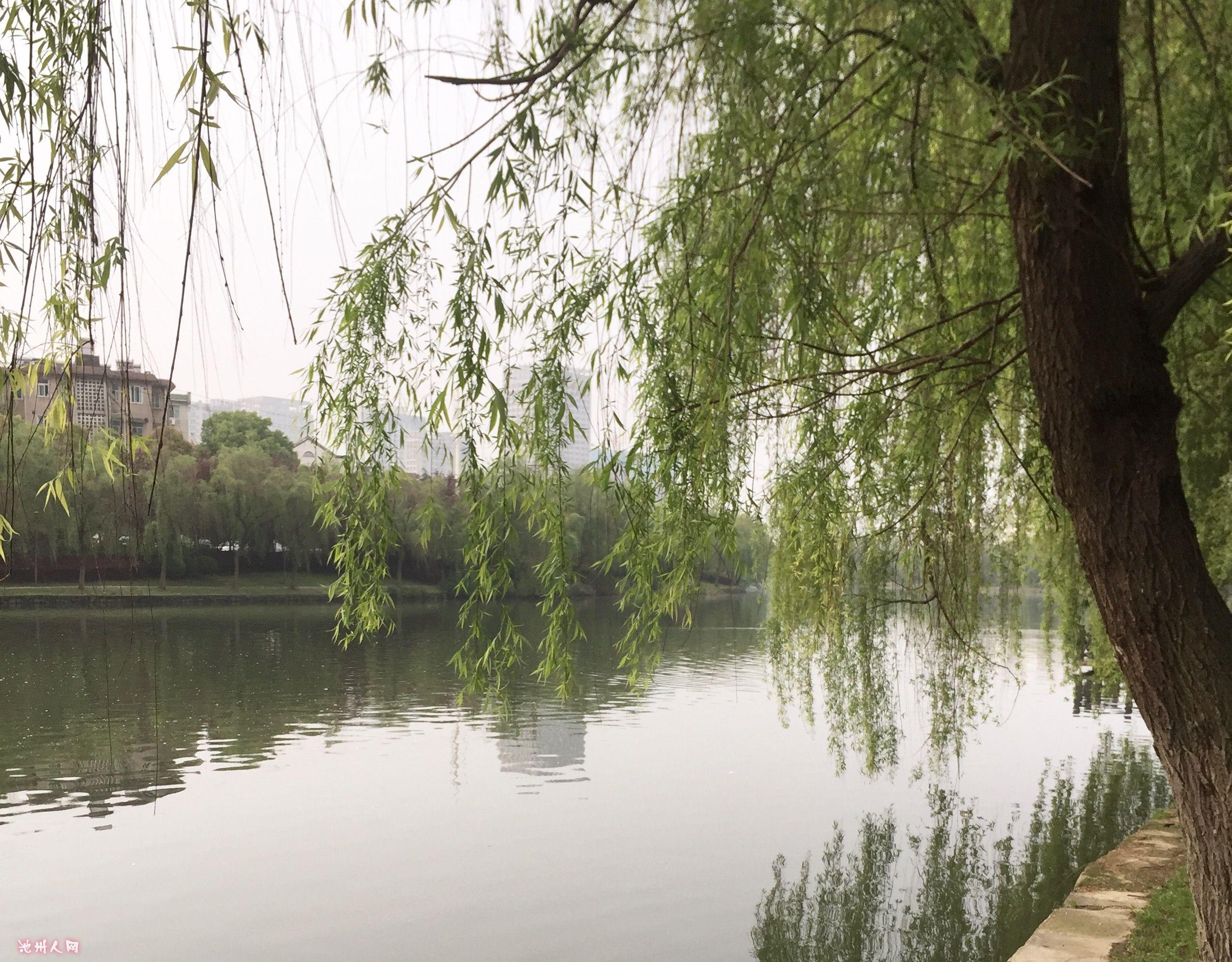 壁纸 垂柳 风景 柳树 摄影 树 桌面 2403_1876