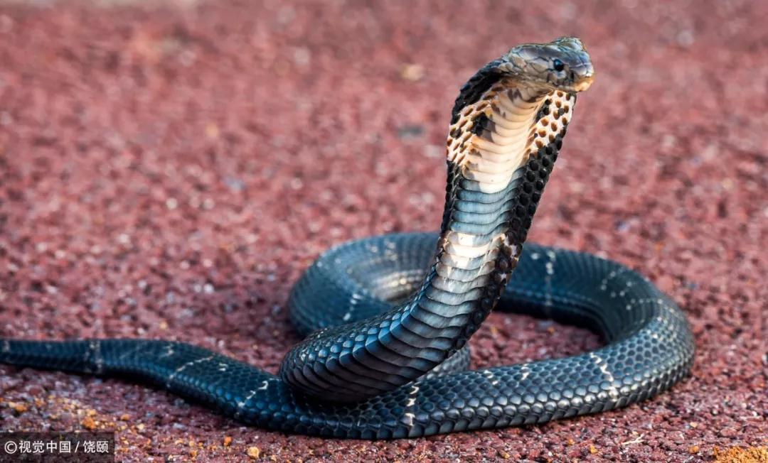 湖北孝感的蛇类