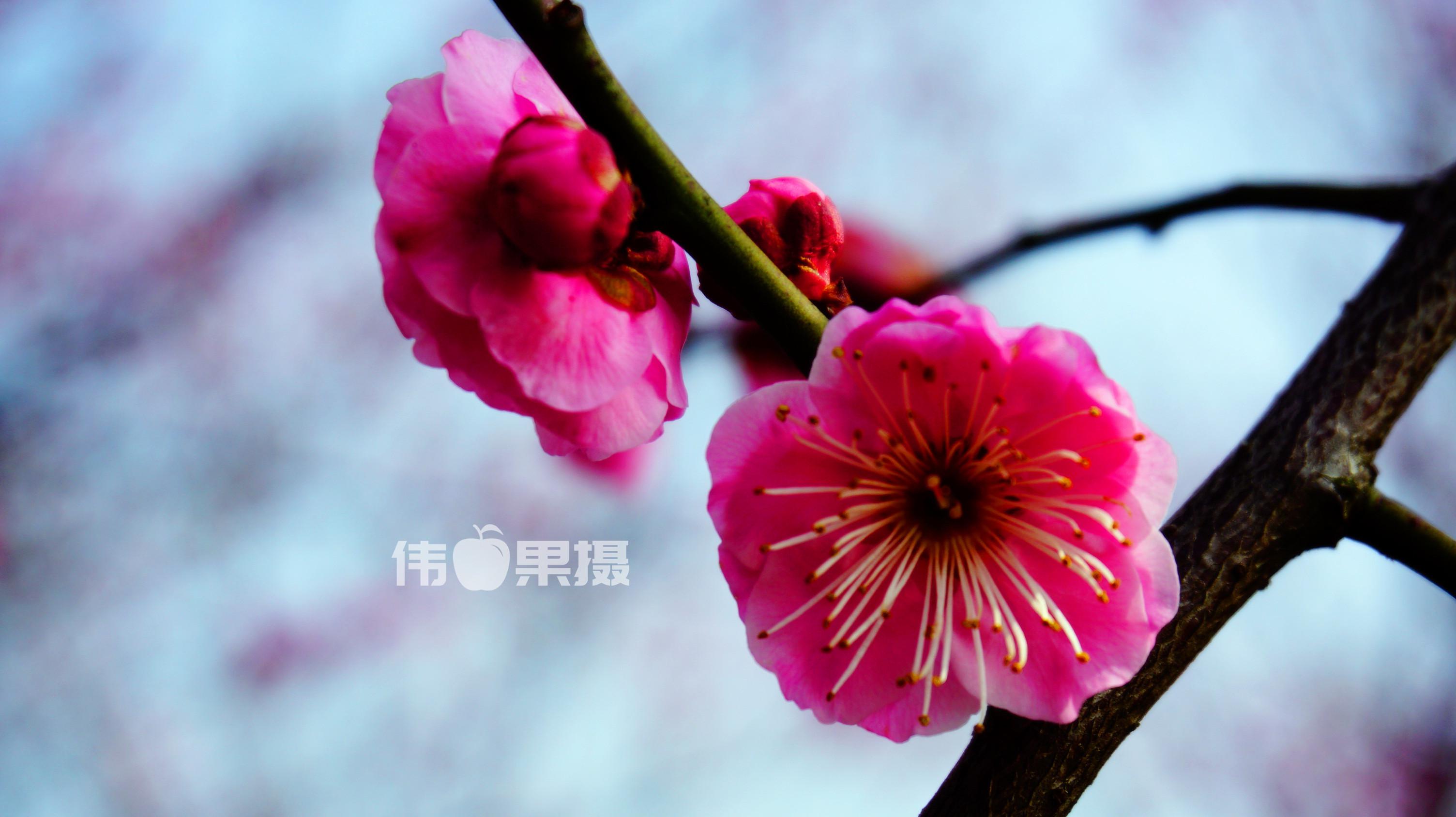 梅花图片 (9)_副本.jpg