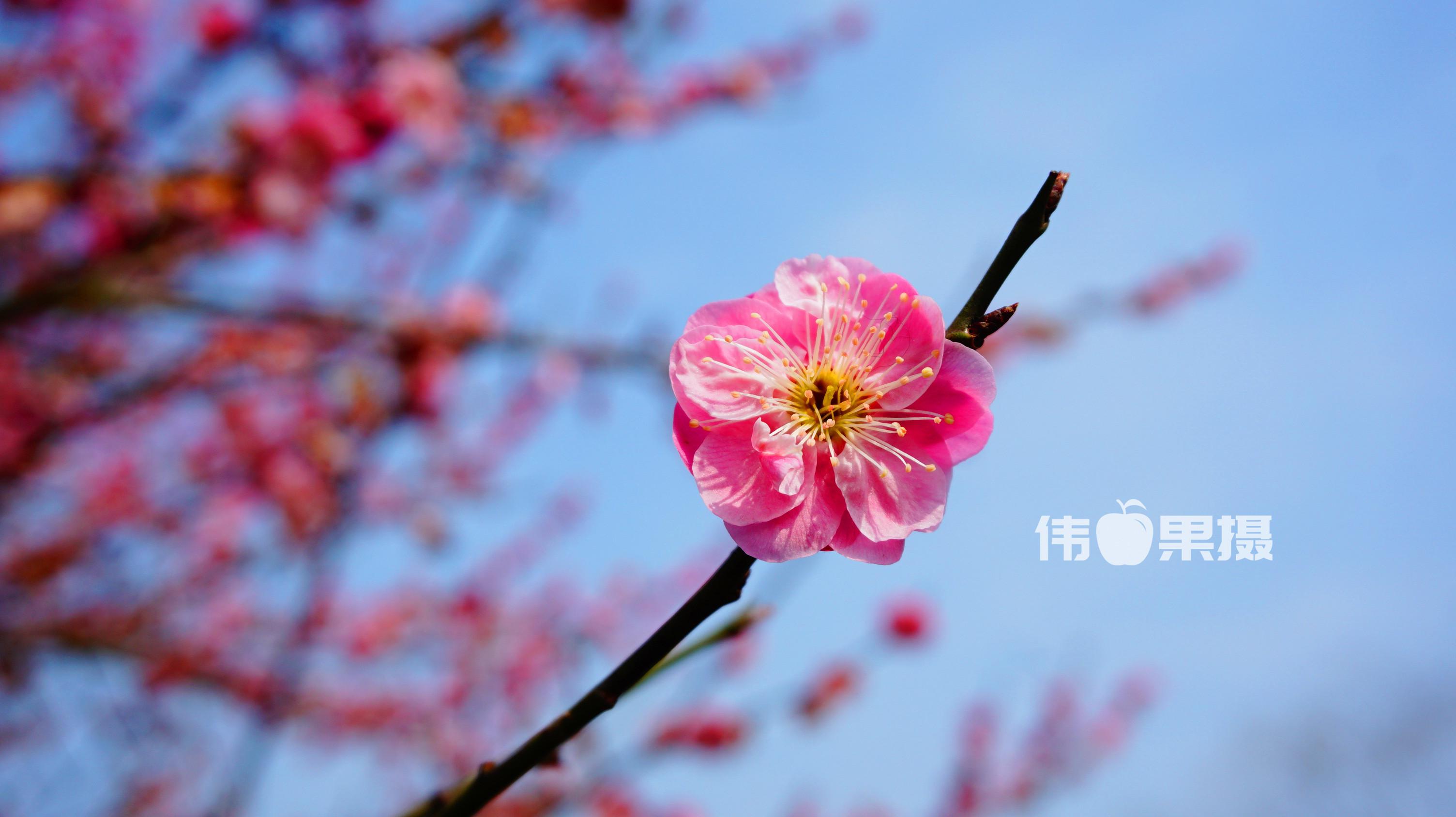 梅花图片 (8)_副本.jpg