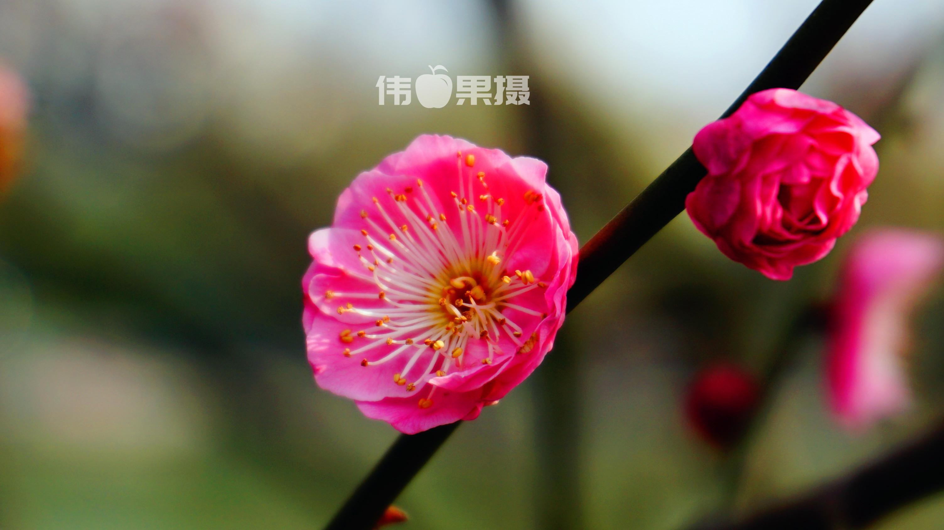 梅花图片 (7)_副本.jpg
