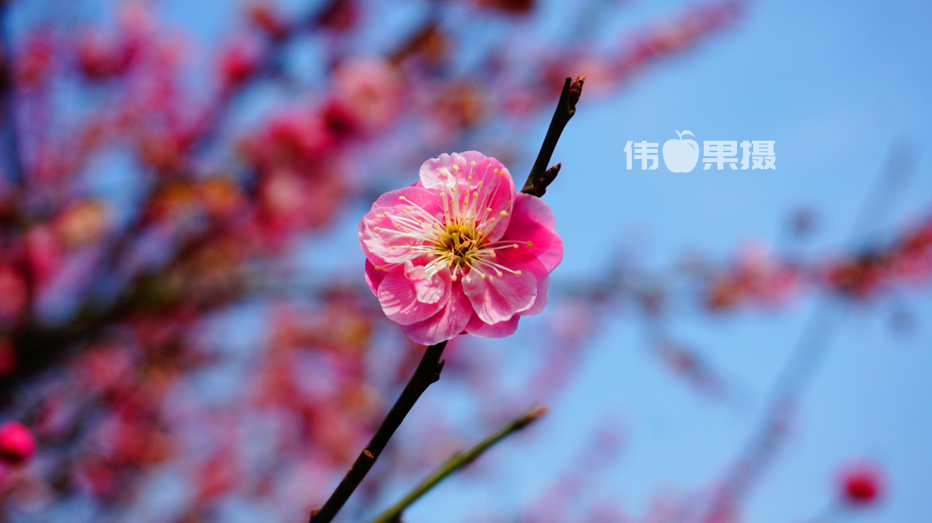 梅花图片 (2)_副本.jpg