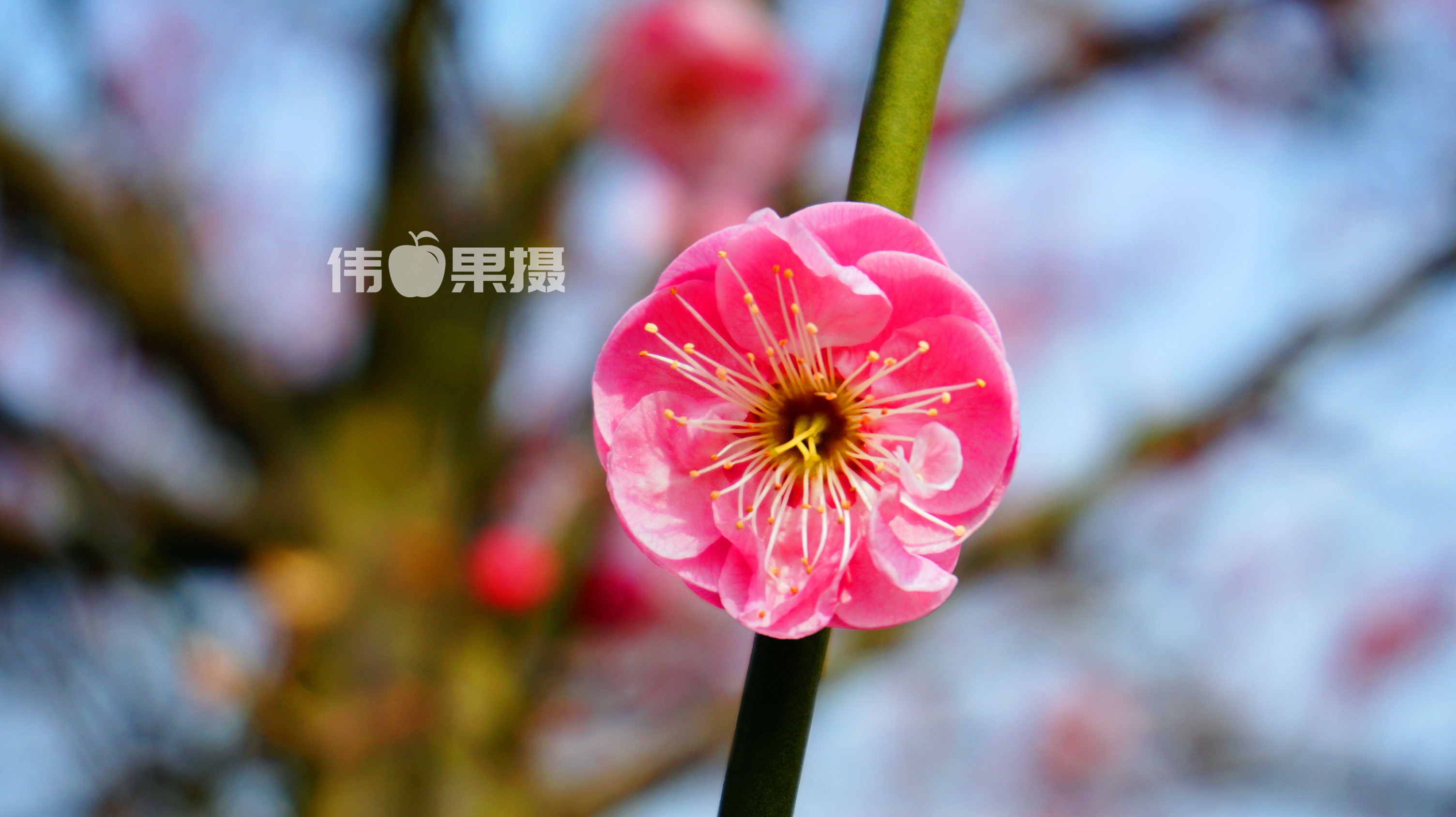 梅花图片 (4)_副本.jpg