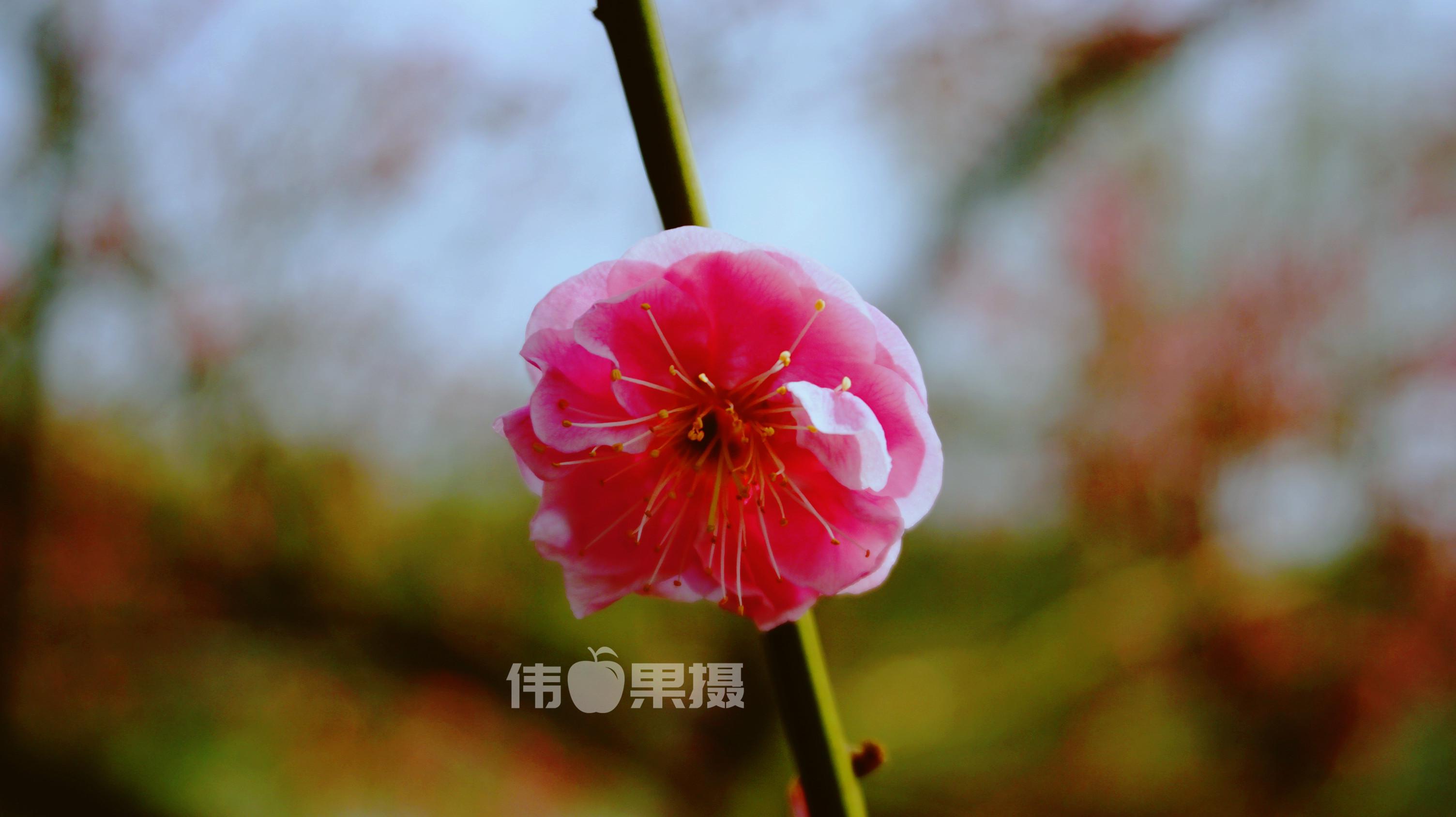 梅花图片 (10)_副本.jpg