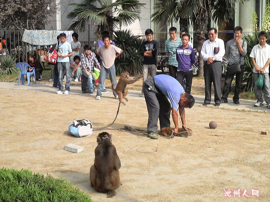 国庆节 车站/车站前一老艺人和猴子表演投篮。生动有趣,小孩哇哇大笑。老人...